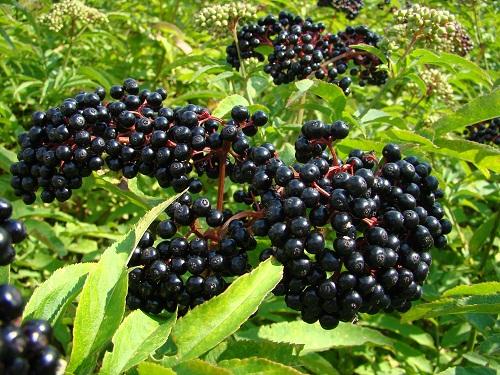 خواص دارویی آقطی سیاه ( انگو کولی ) Elderberry