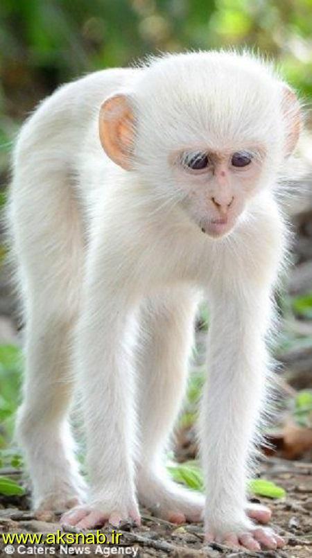 میمون