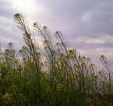 خاکشی (نام علمی: Descurainia sophia)، که با نام خاکشیر نیز شناخته میشود،