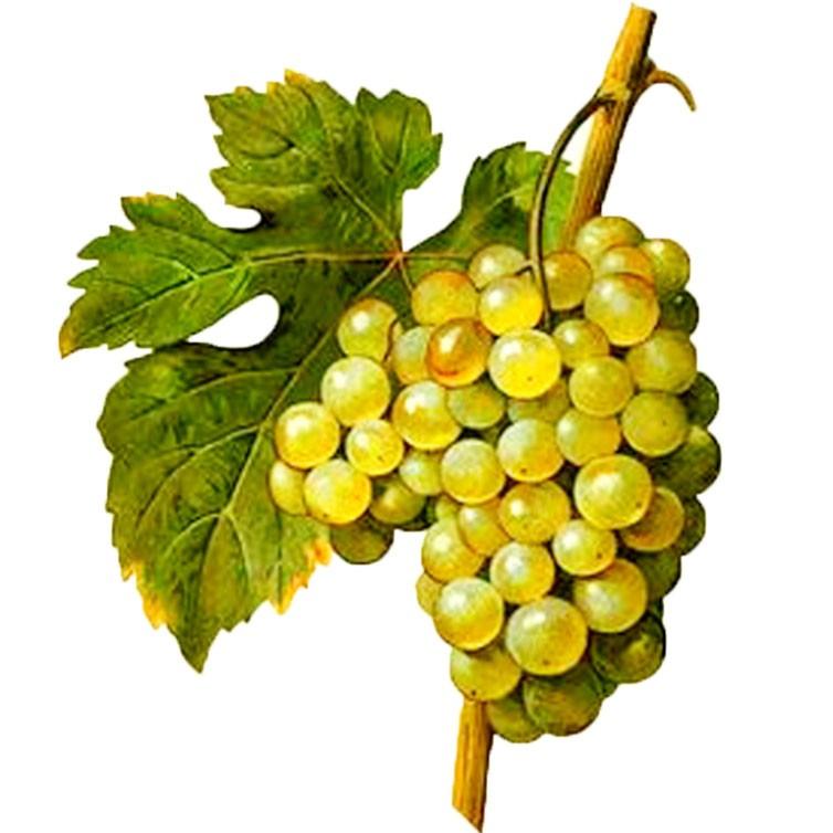 خواص دارویی انگور : ( Grape (Vine