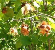 فندق میوهای فندقی از درخت فندق است