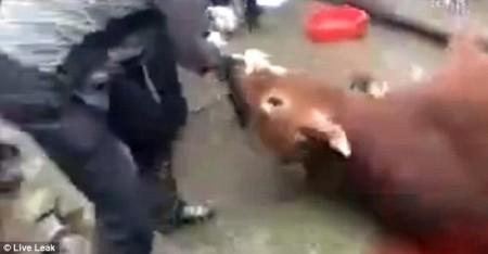 عکس های شکنجه وحشیانه گاو نر از طریق آلت تناسلی اش