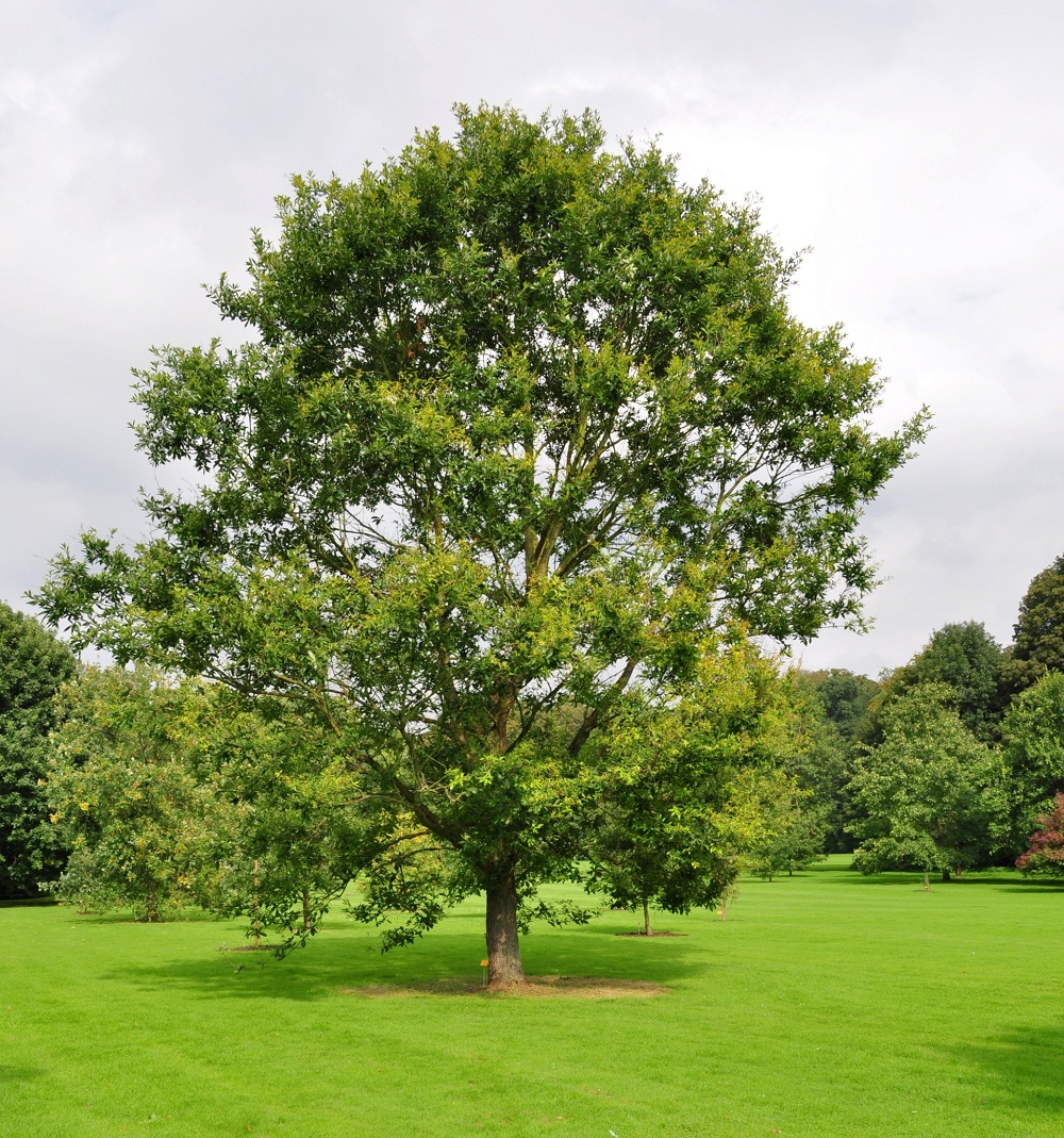 بلوط : Oak  Bark :گز علفي (شيره بلوط)