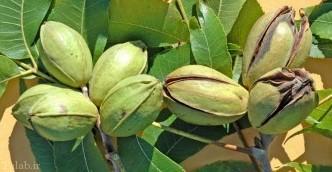 درخت گردوی آمریکایی (پِکان)