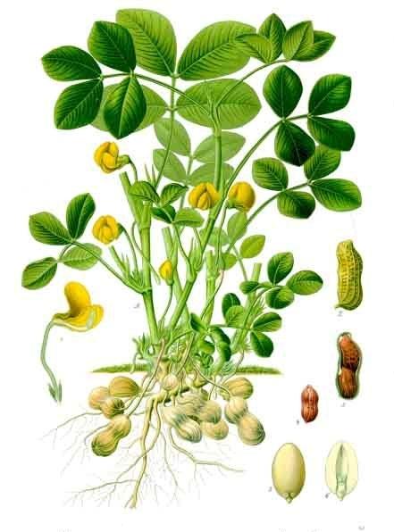 بادامزمینی یا پستهشامی (همچنین بادامکوهی یا پسته زمینی)، نام بوته و میوهای با نام علمی Arachis hypogaea است.