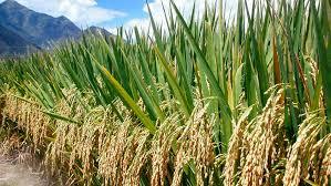 گل آذین در برنج بصورت پانیکول بوده و فرق آن با گل آذین خوشه در این است که در پانیکول هر خوشهچه دارای دم باریک و بلندی میباشد و به همین دلیل به آن خوشه خوشه هم گفته میشود. پانیکول در ارقام مختلف برنج به شکلی فشرده، باز و یا نیمهباز است. البته از دیدگاه اصلاحگران نباتات در تولید هیبرید و اریتههایی که گل آنها بیشتر باز باشد بهترند زیرا مقدار دگرگشنی و در نتیجه تولید بذر آنها بیشتر است. پانیکول برنج در انتهای ساقه وجود داشته و دارای شاخههای فرعی با محورهای ثانوی میباشد. خوشچهها روی دو گل کوتاه بوجود میآیند که نوک آن روی گلومهای نازا (لمای عقیم) توسعه یافتهاست و به چند وجهی کنگرهدار تبدیل میشوند؛ بنابراین نوک فنجانی شکل و متورم مشابه یک زوج گلوم حقیقی است و به آن گلوم حقیقی گفته میشود. هر خوشچه دارای محور کوچکی بنام محور سنبلهاست که روی آن یک گل در محور برگک پانویه که گلومهای نازا نام دارد تشکیل میشود. گلدهی در برنج از نوک گل آذین شروع شده و به سمت پایین ادامه مییابد. در موقع ظهور خوشه نیاز ریشه به مواد غذایی بویژه ازت، فسفر و پتاس زیاد است.