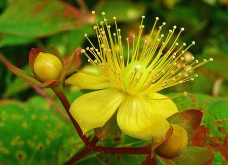 خاصیت این گیاه در درمان افسردگی به اثبات رسیده و مکانیزم اثر ضد افسردگی آن از طریق مهار آنزیمی است. ماده موثره این گیاه هایپریسین میباشد که فراوردههای آن هم بر اساس همین ماده استاندارد سازی میشوند