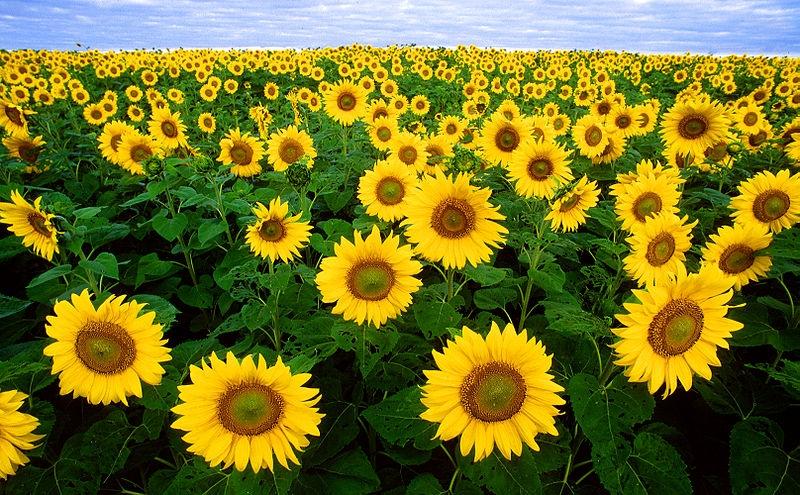 گل آفتابگردان، گل آفتاب یا گل آذریون (عربیشدهٔ آذرگون