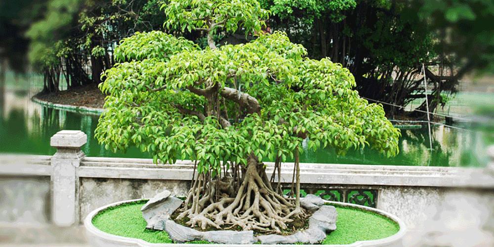 نکات مراقبتی درختان بون سای (نور و آبیاری)