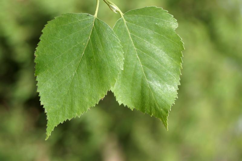 توس (نامهای دیگر: غان، درخت گوشه