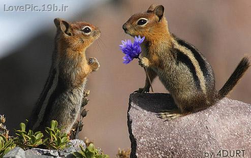 عكس عاشقانه سنجاب ها