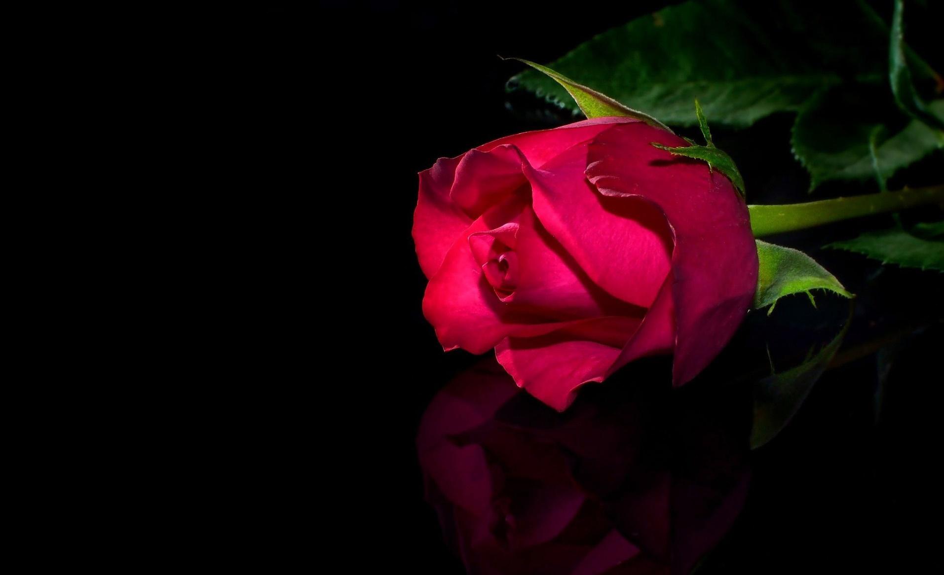 گل رز4