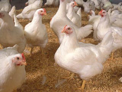 چگونه از مرغ و تخممرغ آنفلوآنزا نگیریم؟