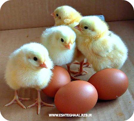 چگونگی شرایط تولید تخم مرغ خوب در مرغداری