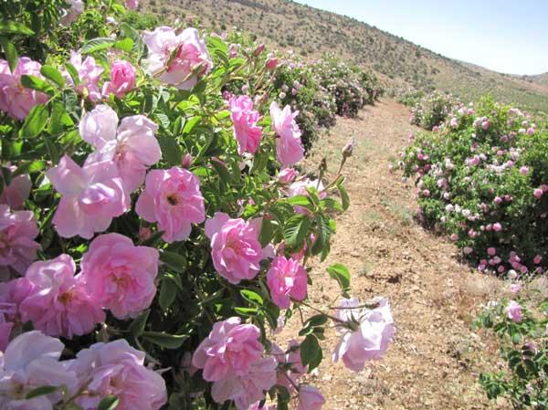 کشت گل محمدی