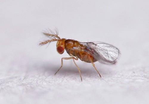 ذخيره سازي زنبور تريكوگراما