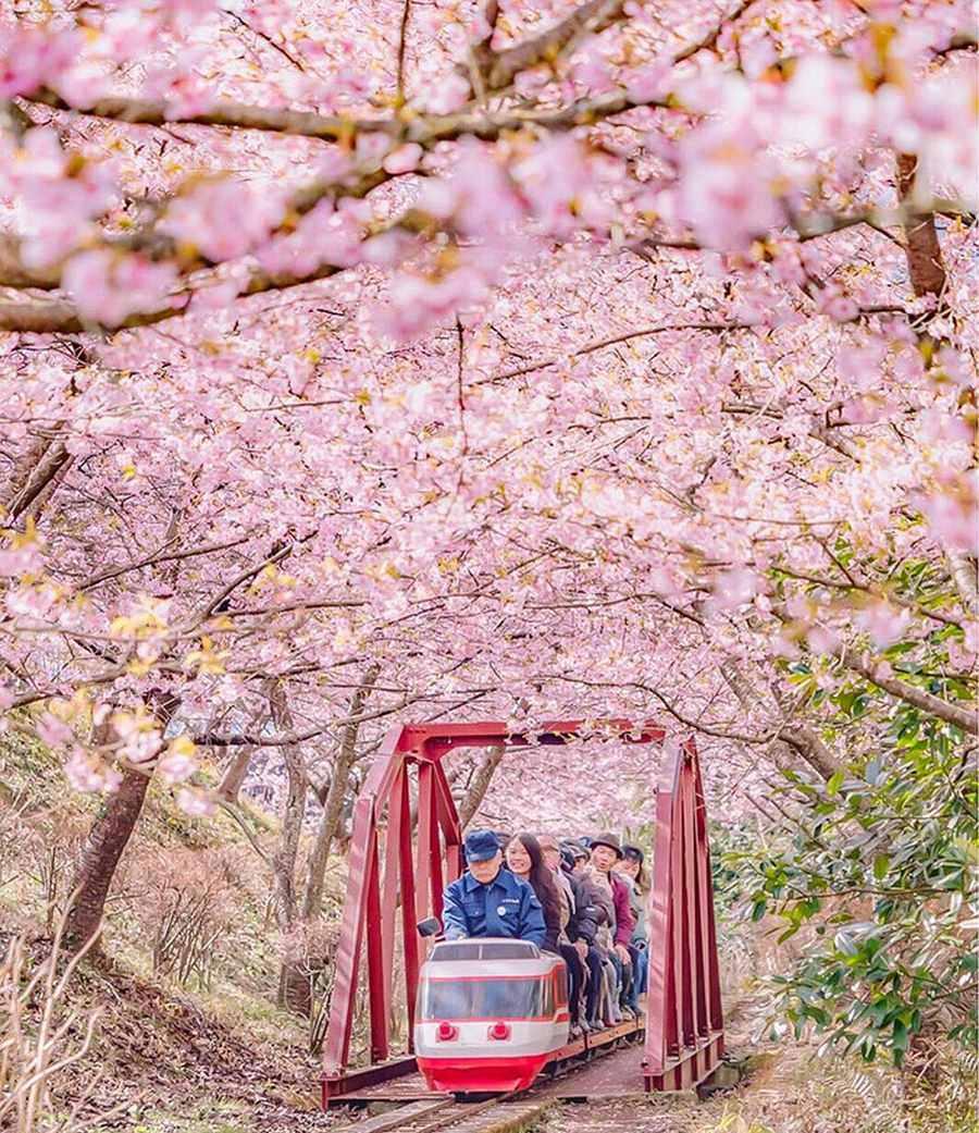 تصاویری زیبا از شکوفه های گیلاس زودهنگام در ژاپن