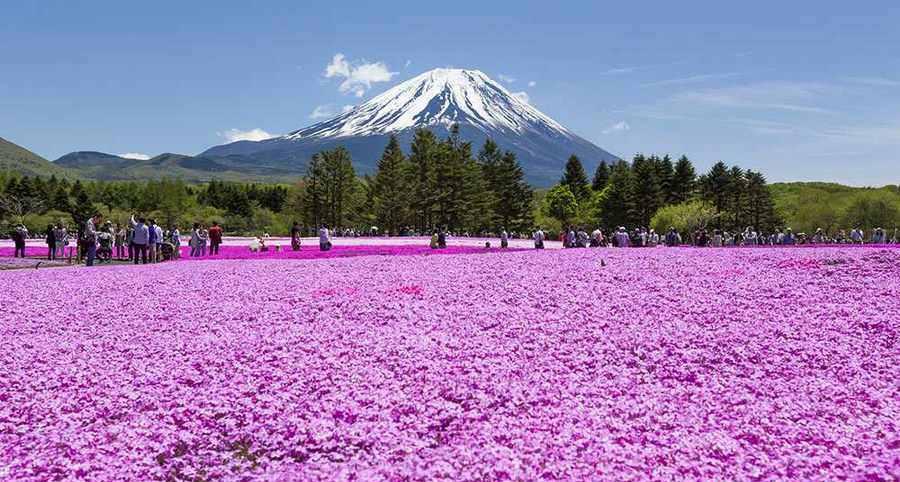پارکی رویایی و مملو از گل های صورتی در ژاپن