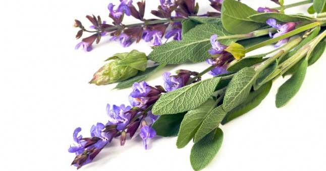 گیاه دارویی مریم گلی برای سلامت و تقویت مغز