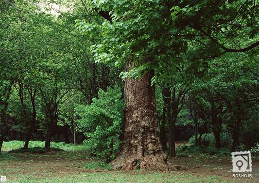 تصاویر درختان جنگلی