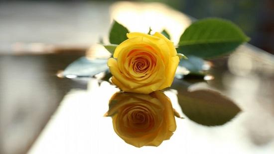 گل رز...
