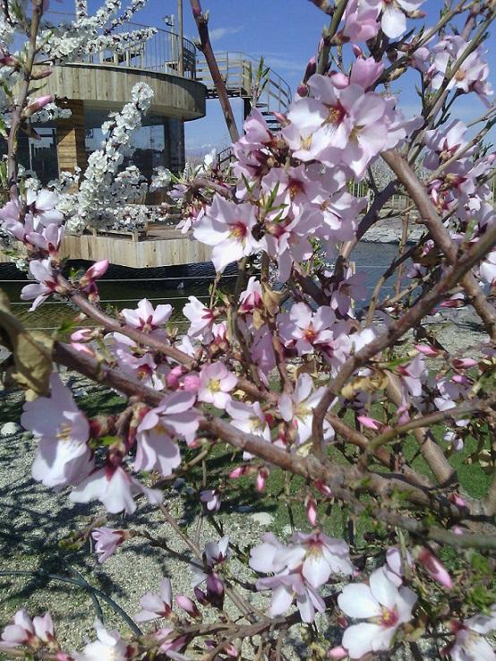 شکوفه های بادام