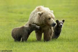 دانلود والپیپر خرس