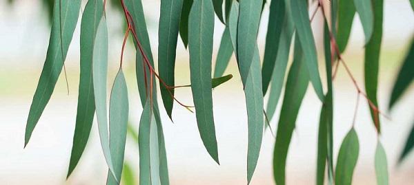 راز برگ های اوکالیپتوس