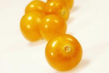 برداشت میوههای فیسالیس