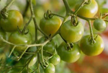 چگونه در باغچه گوجه فرنگی بکاریم