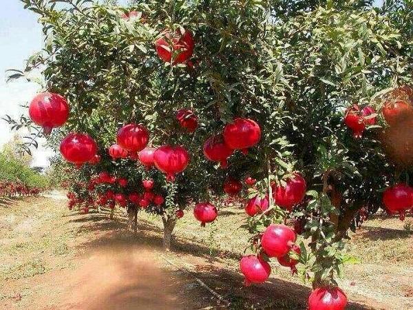 احداث و نگهداری باغ های انار