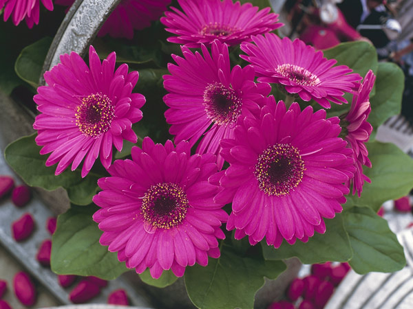 کاشت گل ژربرا به روش گلدانی