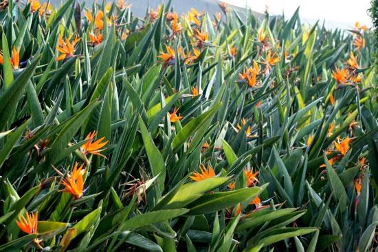 استرلیتزیا یا مرغ بهشتی؛ زیباترین گل جهان