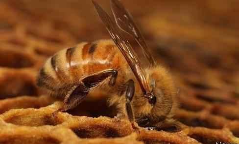 زیست شناسی زنبور عسل اروپائی گونه APIS MELLIFERA