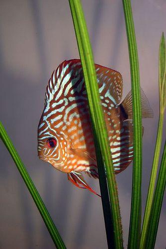 معرفی ماهی دیسکس - Discus Fish
