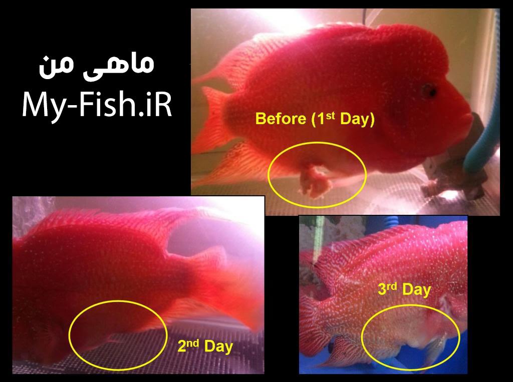 بیرون زدن روده ماهی