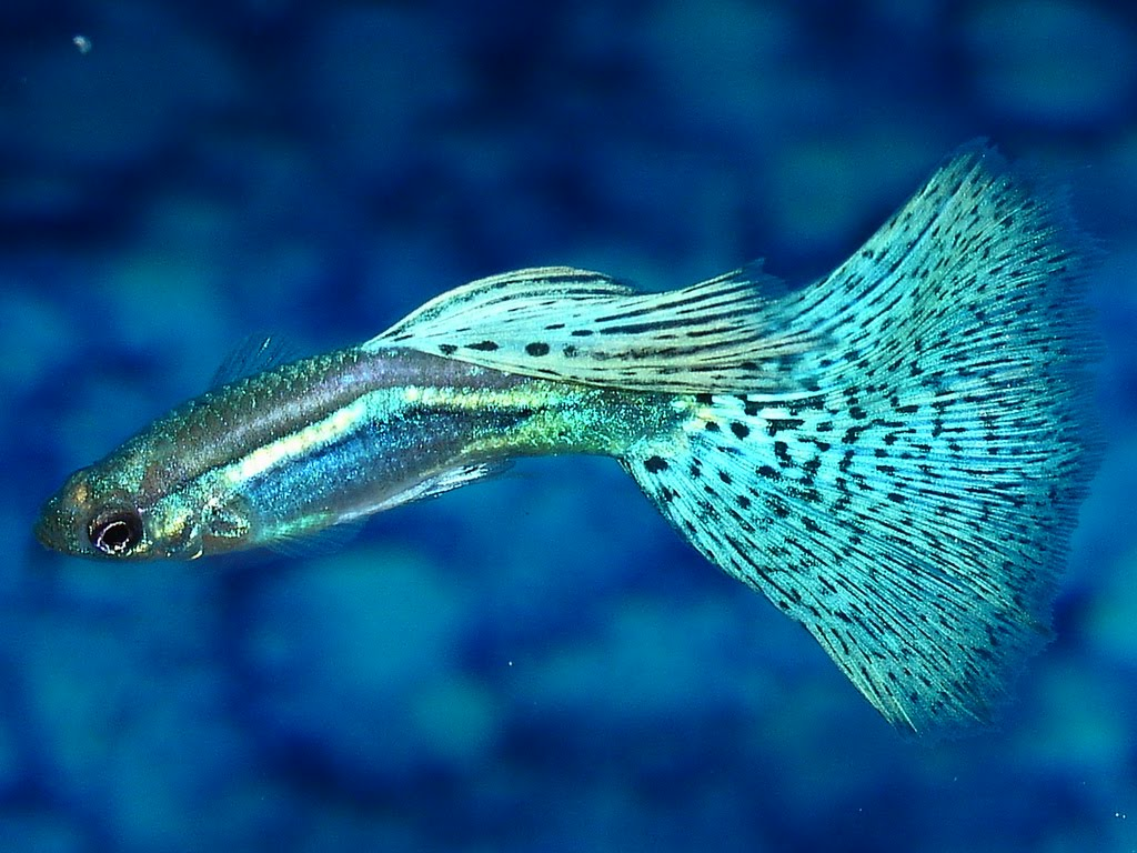 معرفی ماهی گوپی - Guppy Fish