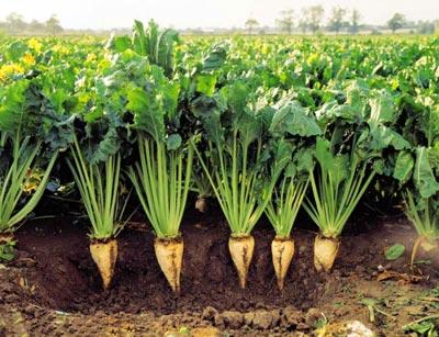 تاثیر اسید هیومیک بر عملکرد گیاه چغندر قند