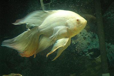 معرفی ماهی اسکار - Oscar Fish