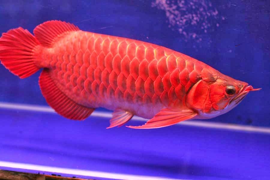 معرفی ماهی آروانا - Arowana Fish