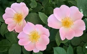 خواص گیاهی گل نسترن