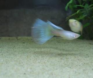 انواع ماهی گوپی