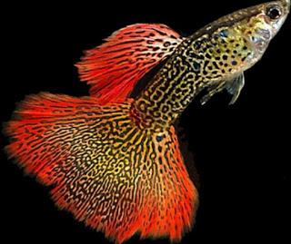 18 گونه مختلف ماهی گوپی