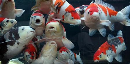 نگهداری ماهی کوی