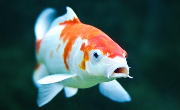 معرفی انواع گونه های ماهی کوی