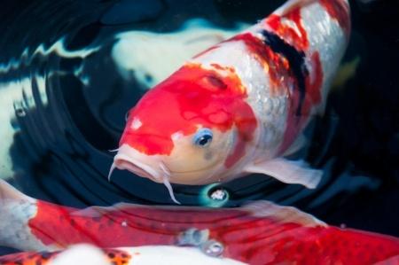 معرفی ماهی کوی - Koi Fish