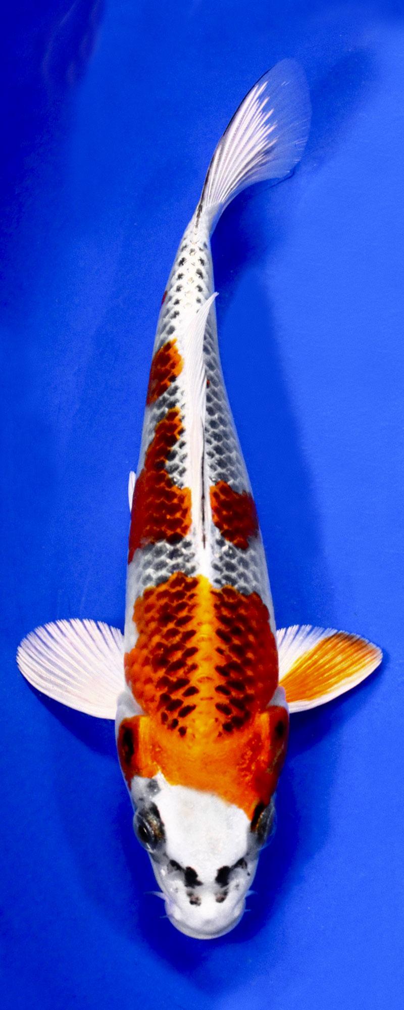 انواع ماهی کوی