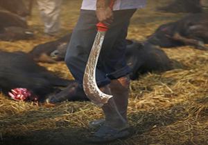 ذبح وحشیانه گوسفندان به دست هندوها + فیلم(18+)