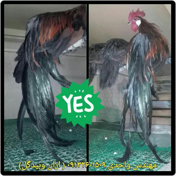 مرغ و خروس نژاد فونیکس(Phoenix Fowl)