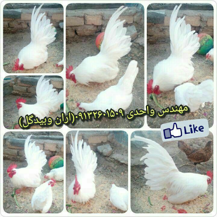 مرغ و خروس نژاد ژاپانیز(Japanese fowl)